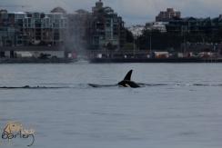 Bigg's Transient Orca