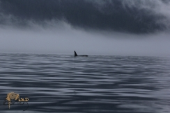 Northern Resident Orca