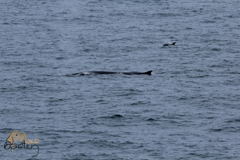 Fin Whale and White-beaked Dolphin