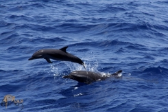 Pantropical Spotted Dolphin