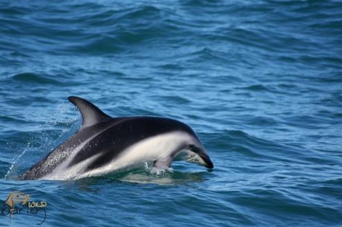 Dusky Dophin