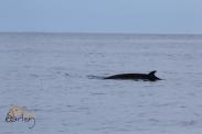 Northern Minke Whale