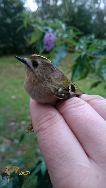 Female Goldcrest
