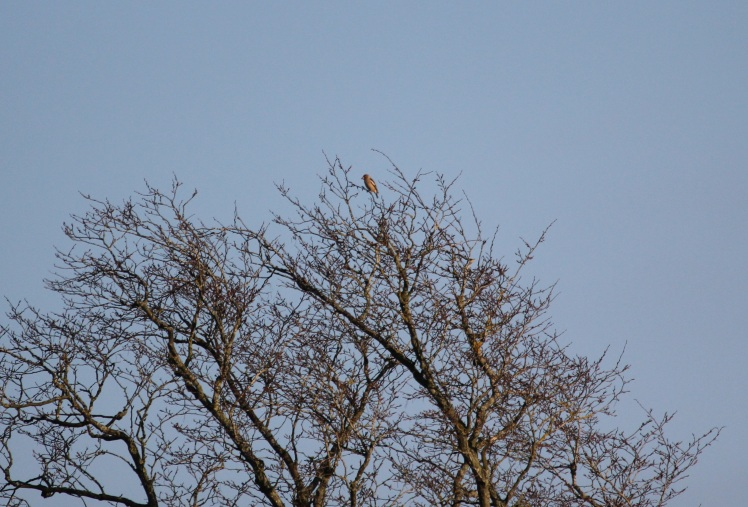 hawfinch_cropped