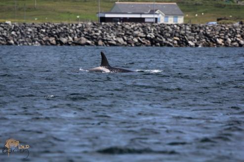 Northern Isles Orca