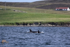 Northern Isles Orca