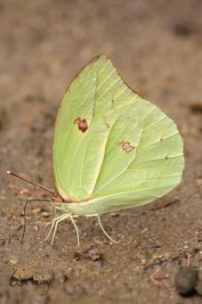 brimstone green 3