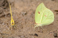 brimstone yellow & green