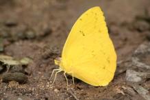 brimstone yellow