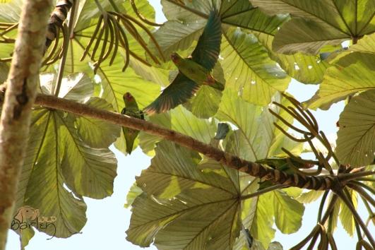 colbolt parakeets