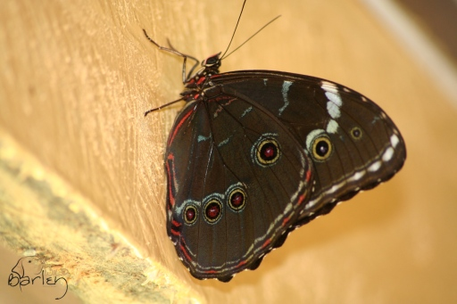 miridius morpho