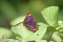 purple wing 2