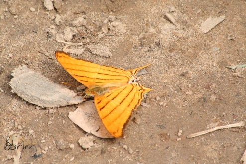 striped swallowtail