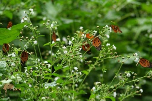 tiger bush 2